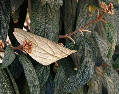 Leathery leaf texture of Leatherleaf Virburnum