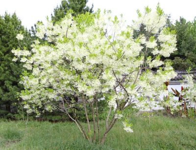 White Fringe Tree overall shape with flower in bloom