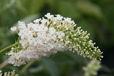 White flower bloom on Butterfly Bush