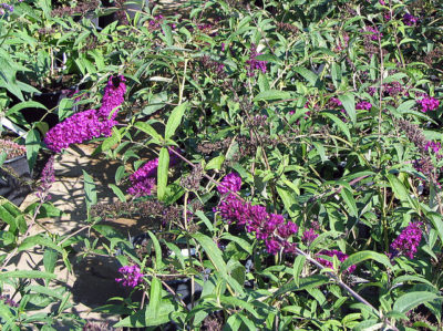 Butterfly Bush foliage and flower blooms