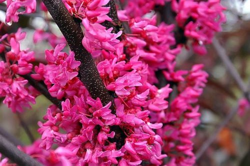 Appalachian Red Redbud vibrant red/pink flower blooms of its branches
