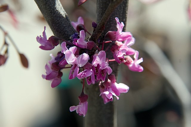 Forest Pansy redbud pink flower blooms off branches will appear before its leaves emerge