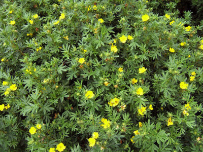 Potentilla yellow flower blooms all throughout the shrub