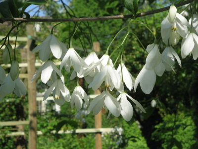 Carolina Silverbell drooping white flowers hang gracefully of its branches