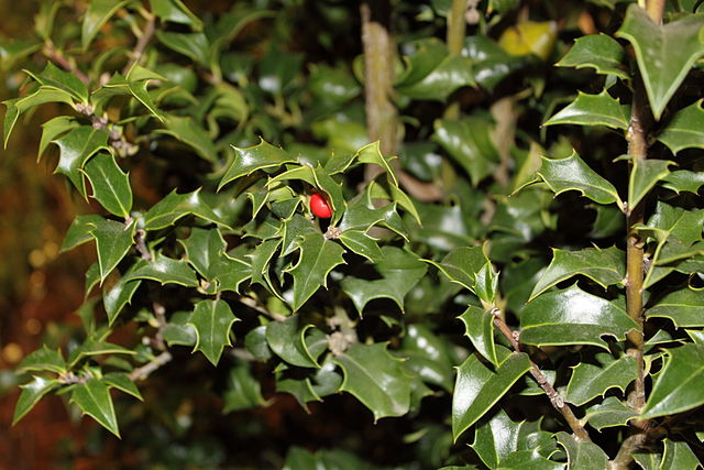 Dragon Lady Holly foliage