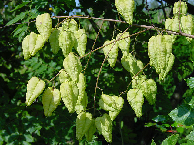 Golden Rain Tree unique lantern shaped seed pods.