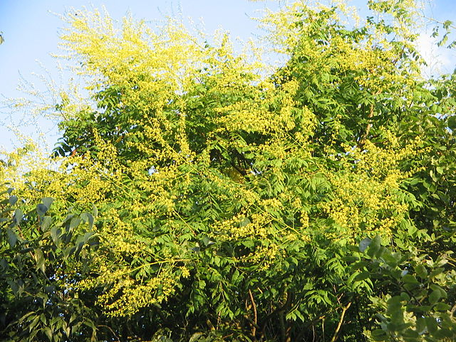 Golden Rain Tree in bloom with yellow flowers throughout the tree.