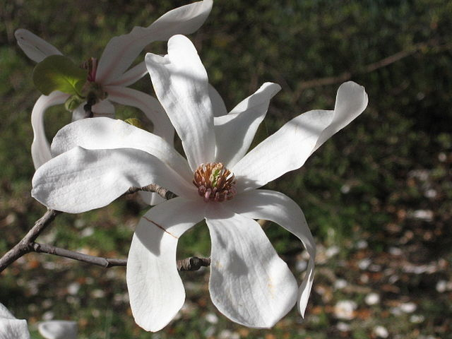 Merrill Loebner Magnolia flower bloom