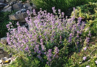 Junior Walker Catmint habit