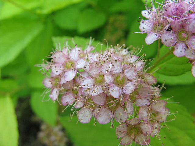 Goldmound Spirea pink flower bloom up close