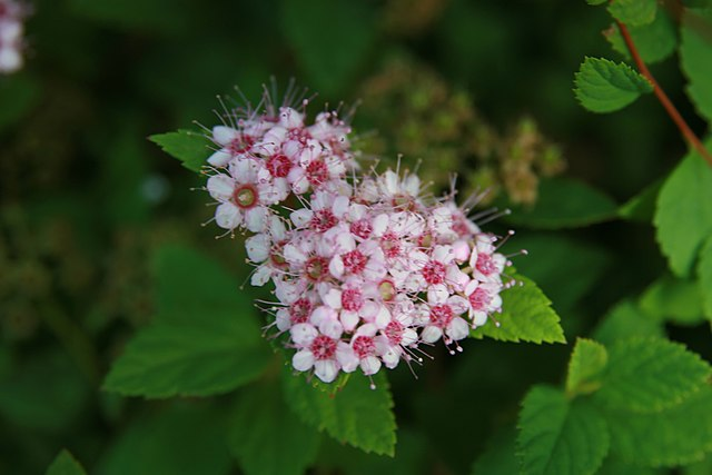 Little Princess Spirea flower cluster up close