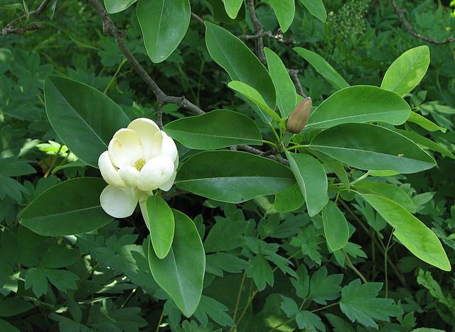 Sweet Bay Magnolia foliage, open flower bloom, and flower bud about to open up