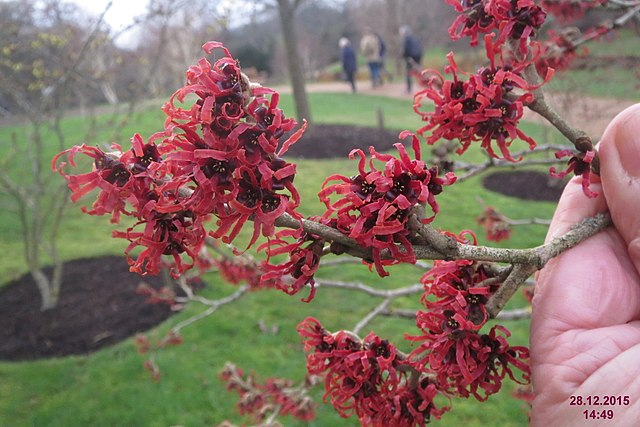 Vibrant red flower blooms on Diane Red Witch Hazel