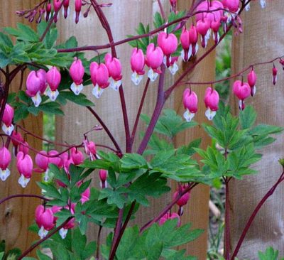 Bleeding Heart heart shaped flower blooms hang gracefully from branches