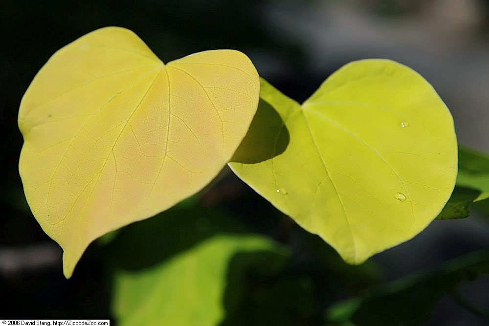 Hearts of Gold Redbud leaf golden yellow color up close