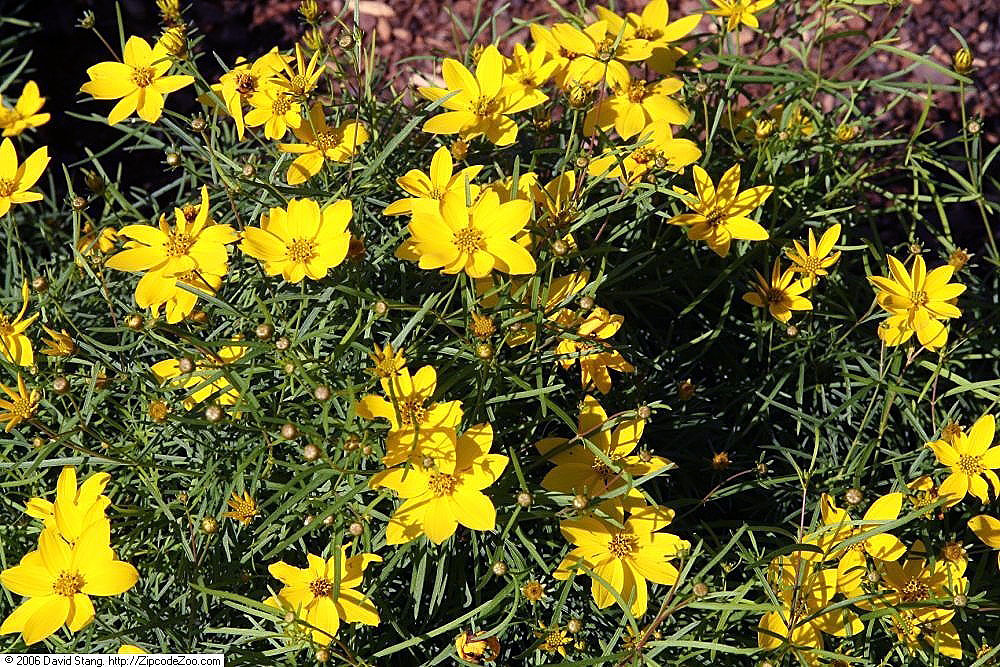 Yellow coreopsis flowers withing its thin blade like foliage