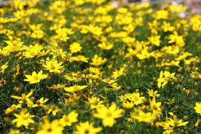 Prolific flower blooms of Zagreb Threadleaf Tickseed Coreopsis