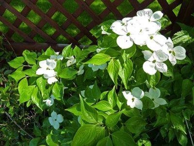 Celestial Dogwood hybrid florida x kousa leaves and flowers in bloom