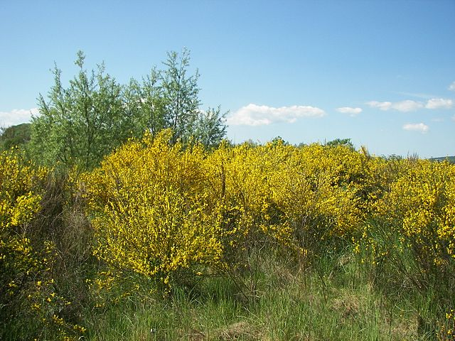Yellow flower blooms cover Scotch Broom shrubs taking over this field.