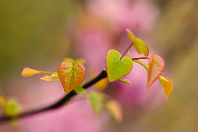 Eastern Redbud new heart shaped leaves just opening up.