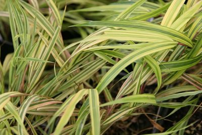 Golden Japanese Forest Grass up close color and variegated foliage