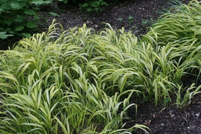 Golden Japanese Forest Grass habit of growth and golden color foliage