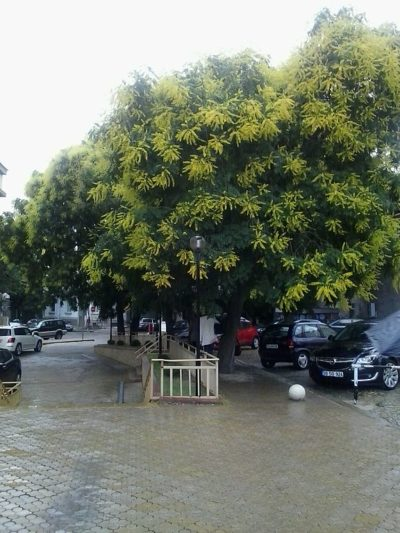 Golden Rain Tree overall form/habit of growth showing off its panicles of yellow flower blooms