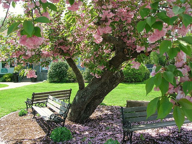 Kwanzan Cherry Tree mature bark, pink flower blooms, and foliage