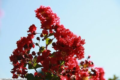 Dynamite Crape Myrtle gorgeous red flower clusters in bloom
