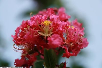 Tuscarora Crape Myrtle coral pink flower bloom up close