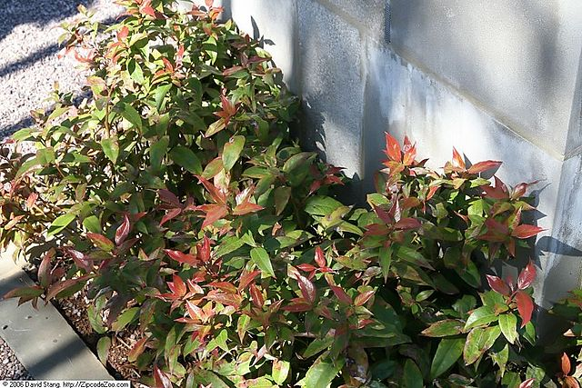 Coast Leucothoe new foliage emerges red and matures to green