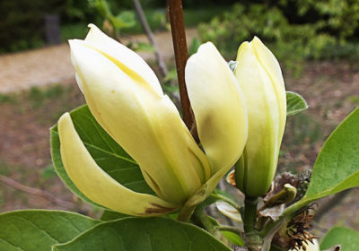 Butterflies Magnolia creamy yellow flower opening up