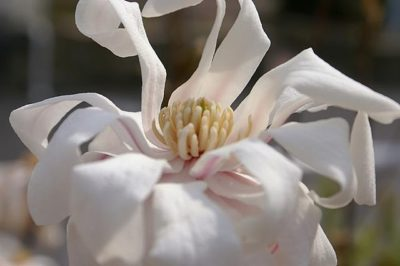 Royal Star Magnolia flower up close view