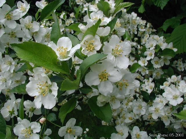Sargent Crabapple tree beautiful white flowers in bloom