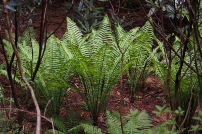 Ostrich Fern upright habit