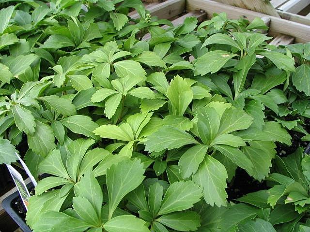 Pachysandra foliage