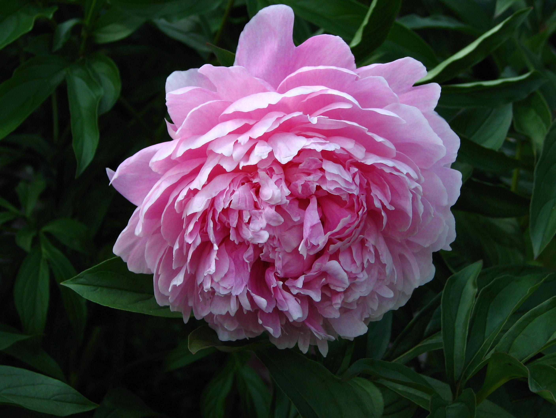 Gorgeous large double pink flower bloom on Sarah Bernhardt Peony