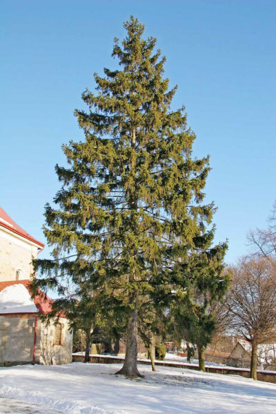 Norway Spruce pendulous branches with dark green foliage