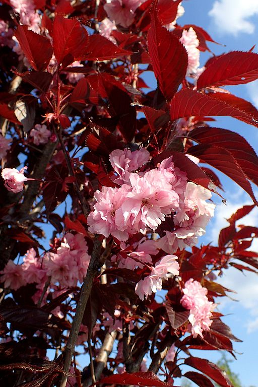 Royal Burgundy Cherry tree purple foliage and pink double flower blooms
