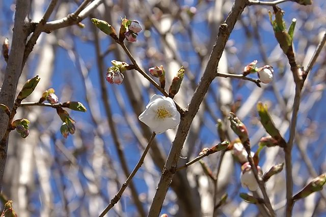 Snow Goose Cherry flowers opening up
