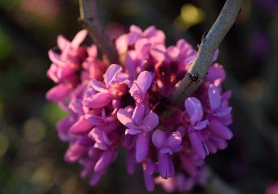 Eastern Redbud pink flower bloom cluster shown close up