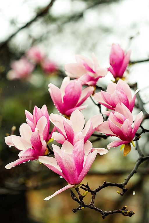 Saucer Magnolia beautiful flower blooms