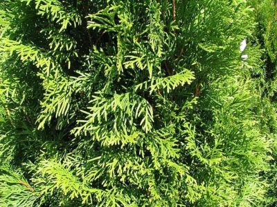 Emerald Green Arborvitae foliage