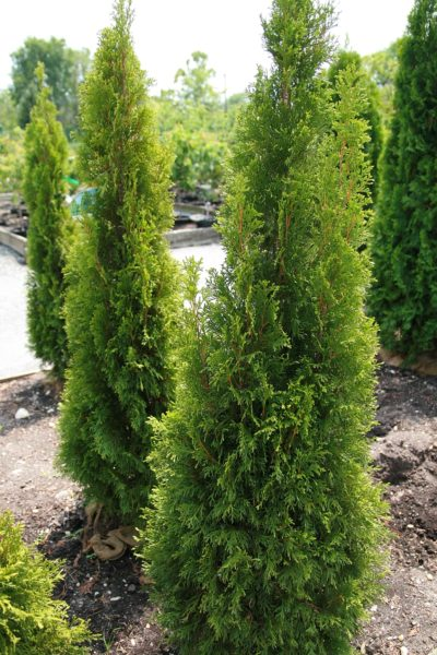Emerald Green Arborvitae columnar habit and yellow/green foliage