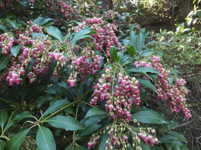Lovely pink flower blooms and evergreen foliage of Valley Valentine Andromeda