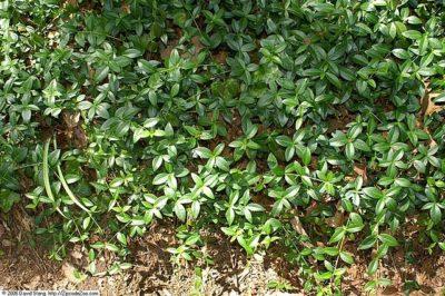 Vinca Minor spreading foliage
