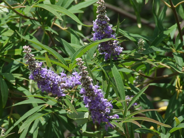 Chaste Tree lavender/purple flower blooms and attractive grey/green foliage
