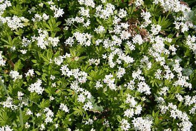 Sweet Woodruff in full bloom
